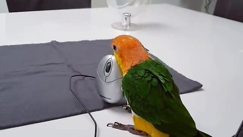 This parrot treats a computer mouse like a personal chew toy!