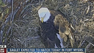 Eaglet expected to hatch Tuesday in Fort Myers - Video