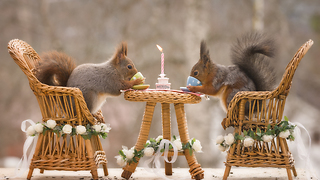 red squirrels get married - Video