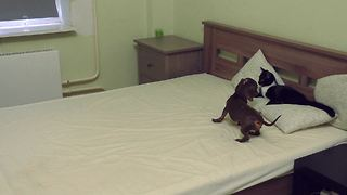 Dog and cat battle for bed dominance - Video