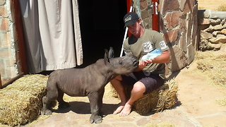 Adorable Newborn Rhino Rescued After Being Abandoned By Its Mother - Video