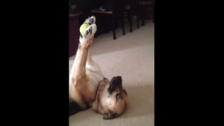 Dog Shows Off Her Impressive Ball Handling Skills With Her Favorite Ball  - Video