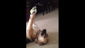 Dog shows off unbelievable ball handling skills - Video