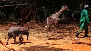 Cute Baby Giraffe And Elephant Are Best Friends - Video