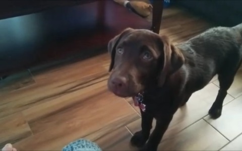 Puppy plays fetch in laziest possible way