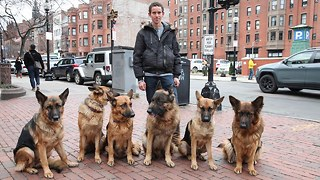 Dog Whisperer Walks Pack Of Dogs Without A Leash - Video