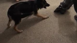 Protective German Shepherd saves girl from vacuum cleaner