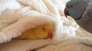 Lazy parrot refuses to get out of bed - Video