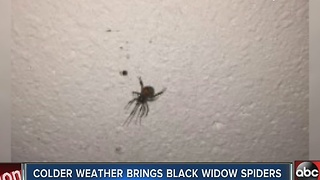 Colder temperatures forcing black widows into homes - Video