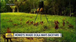 Florida man says monkeys swarming property - Video