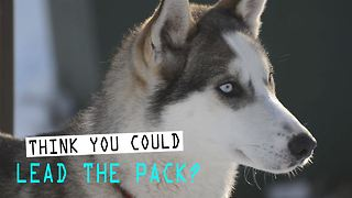 Sled Dogs: 3 amazing things you didn't know - Video