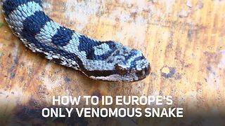 This is how you know you're dealing with a viper - Video
