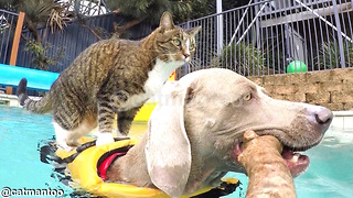Carefree Cat Catches A Doggie Ride Through The Pool - Video