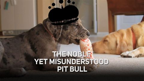 The noble pit bull: A dog misunderstood