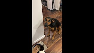 Hungry pup helplessly looks on as cats eat his food