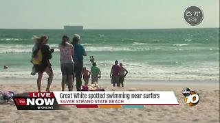 Great white spotted swimming near surfers - Video