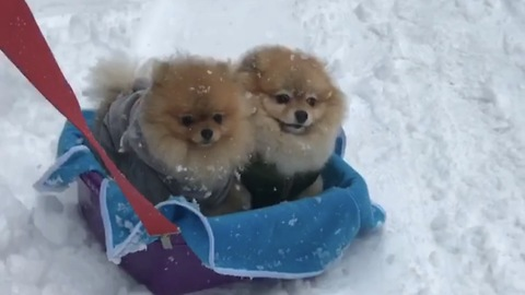 Pomeranians enjoy snowy sleigh ride