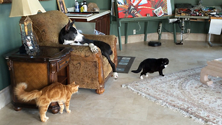 Great Dane casually observes tense moment between cats - Video