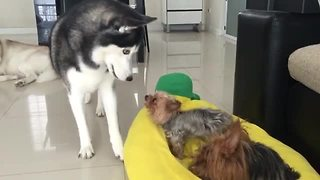 Husky fights with little dogs for bed dominance