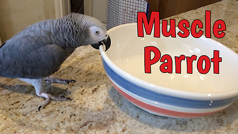 Weight Lifting Parrot Shows Off Impressive Muscle Strength