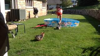 Two Dogs Chase A Little Girl Into A Kiddie Pool - Video