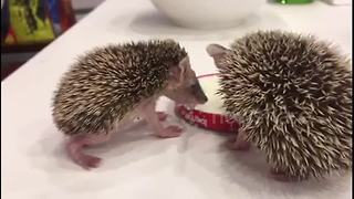 Baby hedgehogs rescued in Irbil, Iraq - Video