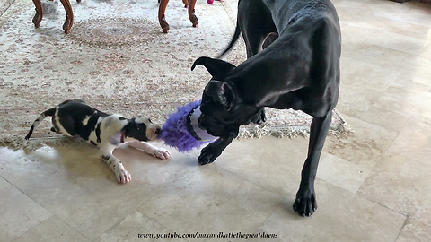 Funny Great Dane and Puppy Play Tug of War With Minion Toy