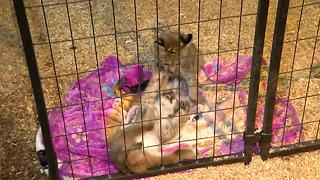 Video: Stolen Lynx kittens returned to zoo - Video
