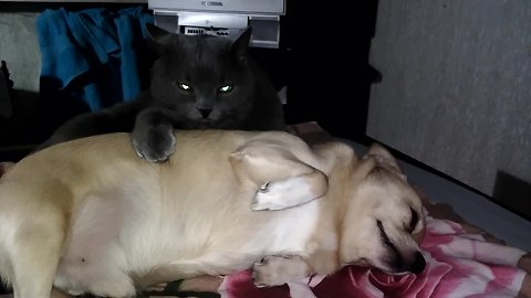 Loving cat can't stop licking canine best friend