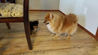 Pomeranian Not Sure What To Do With New Puppy Addition