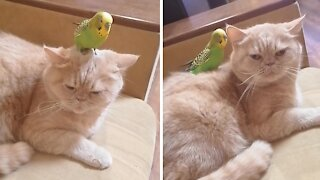 Cat and parrot share incredibly close bond