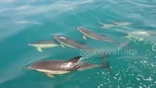 Playful pod of dolphins swim alongside boat off Cornish coast