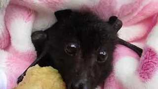 Rescued Baby Bat Enjoys Banana - Video