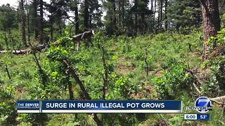 Rural marijuana grows rising in the state of Colorado - Video
