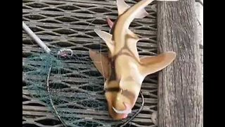 Stunning Port Jackson Shark Comes to Grief on Fishing Hook, Quickly Released