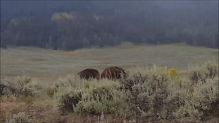 Intense Bison Stand Off Occurs In Lamar Valley, Yellowstone National Park  - Video