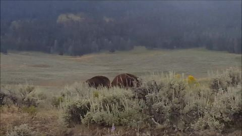 Intense Bison Stand Off Occurs In Lamar Valley, Yellowstone National Park