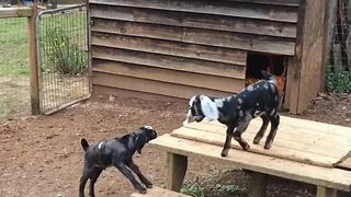 Baby goats play outside for the very first time