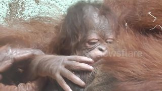 Orangutan born at Twycross Zoo, UK - Video