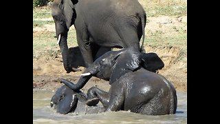 Young elephant dunks brother's head under water during play fight