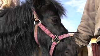 CBD oil donation will hopefully help horses at Rocky Mountain Horse Rescue in their recovery