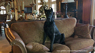 Great Dane Puppy is Well Behaved When Left Home Alone