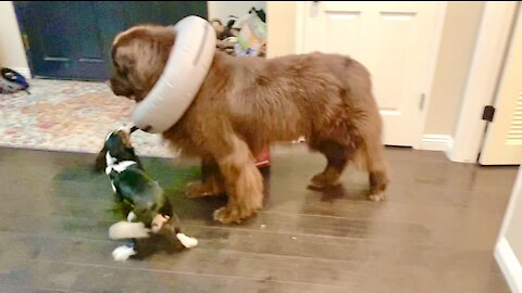 Puppy helps Newfie escape his protective donut