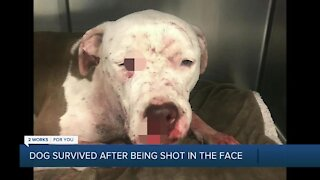 Dog survived after being shot in the face