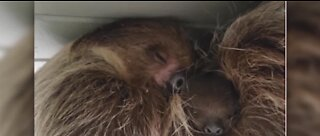 Zoo auctioning name rights to baby sloth