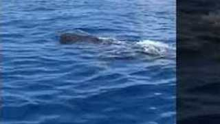 Whale Sharks Spotted Off Florida, Prompting Request From Researchers for Sightings - Video
