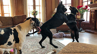 Great Danes Have Fun Dancing With Dog Friends