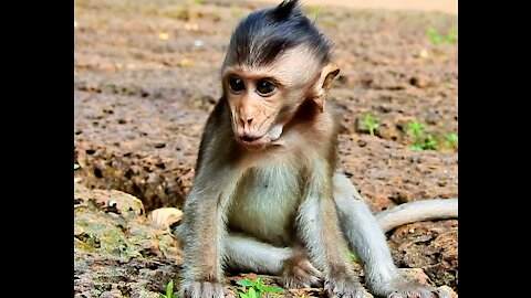 Baby Monkey Cry Lost Mother