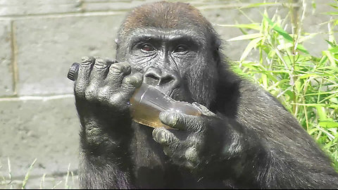 Gorilla tries to figure out how to drink from bottle