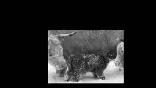 Longhorn Highland Cattle Not A-moo-sed by North Carolina Snowstorm